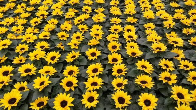 SunflowersRHSChelsea2014NottingHillYummyMummy